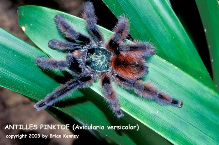 A.versicolor(f){bk}.jpg