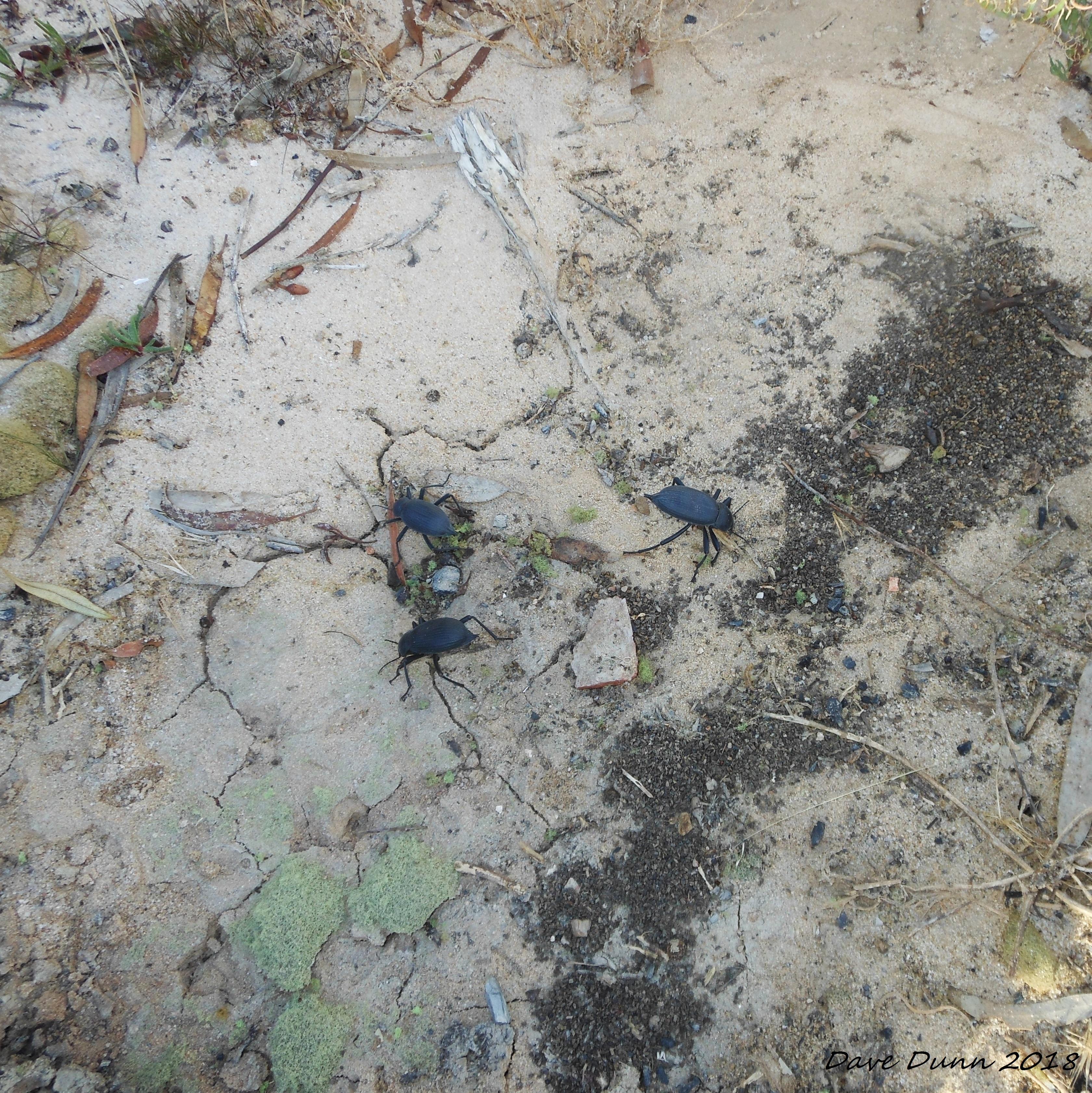 beetles1.JPG