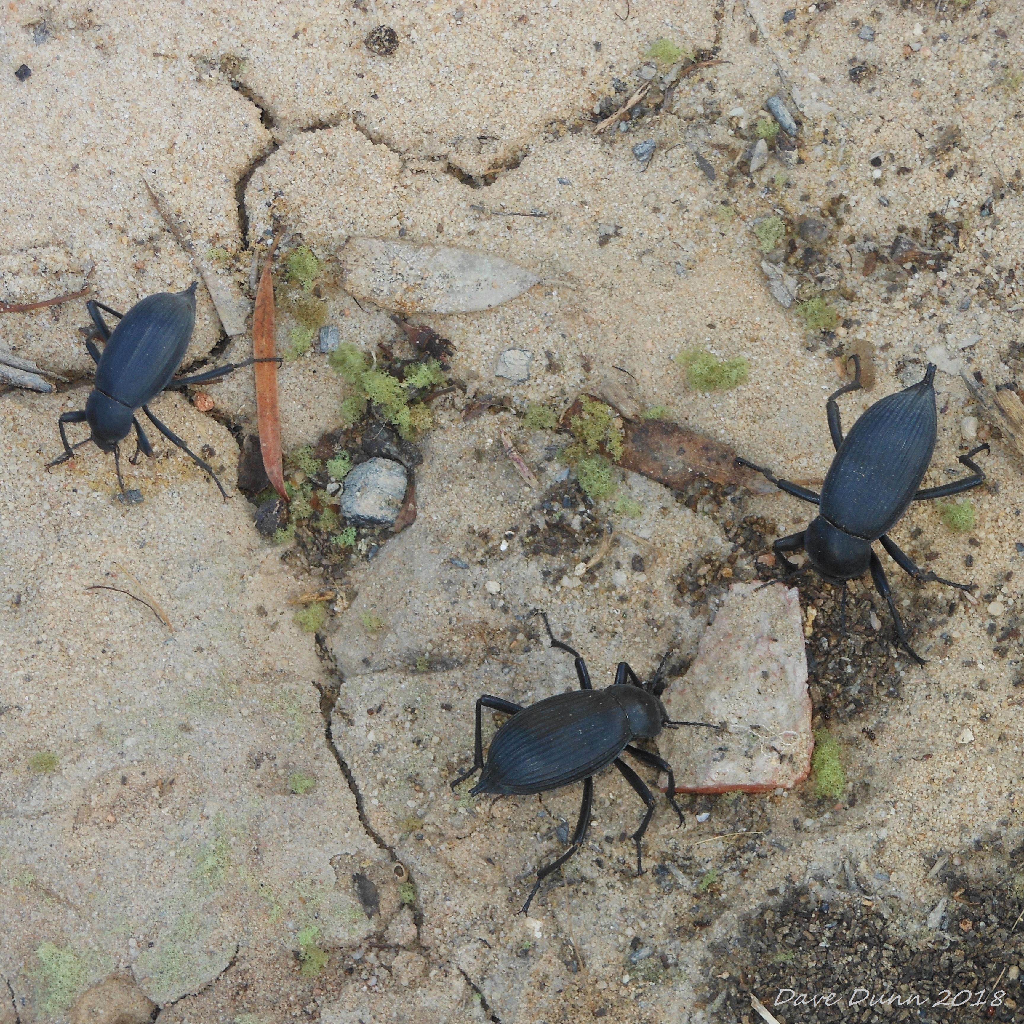 beetles2.JPG