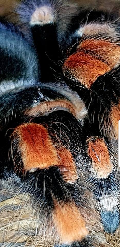 Brachypelma smithii example.jpg
