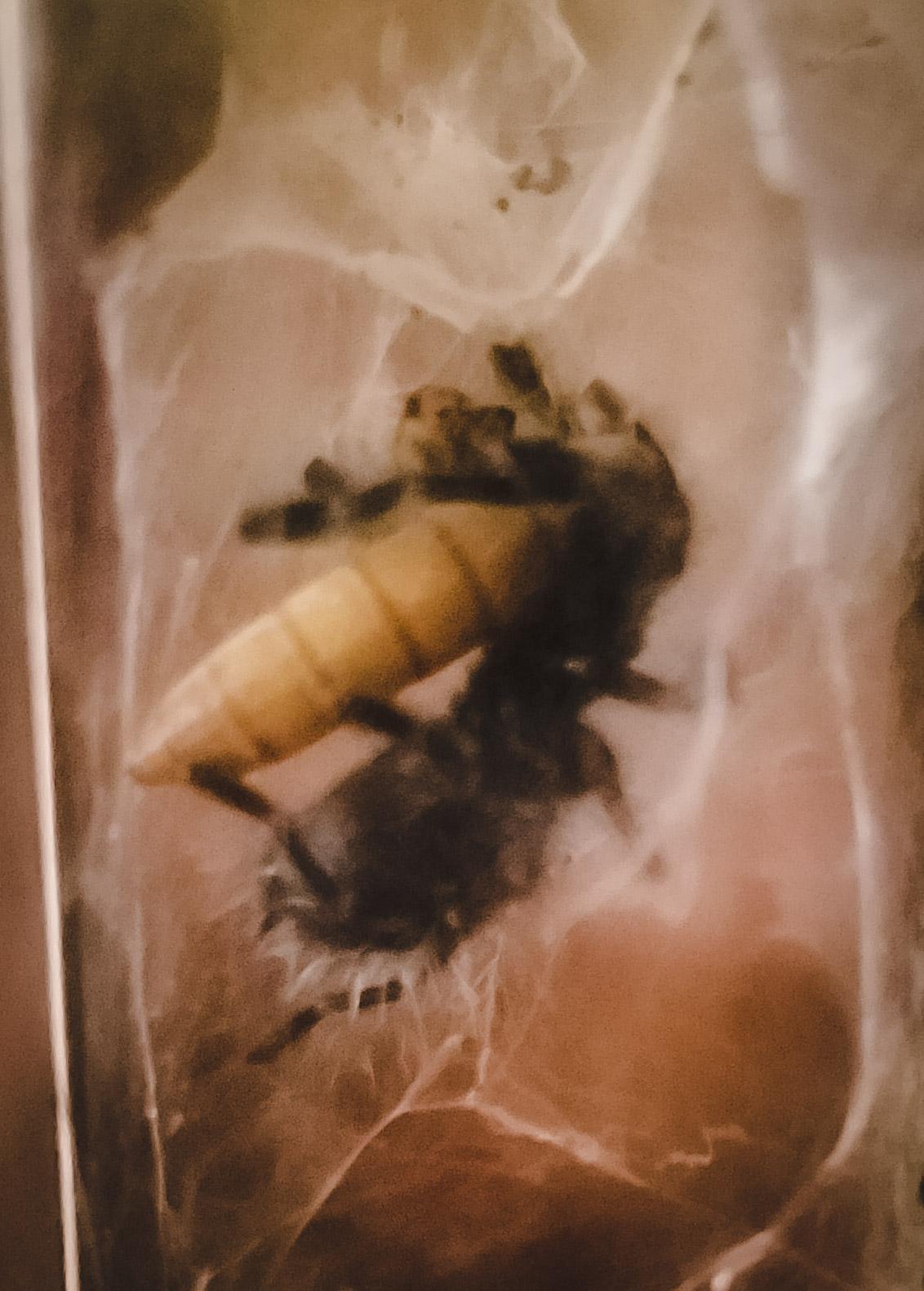 C versicolor first mealworm.jpg