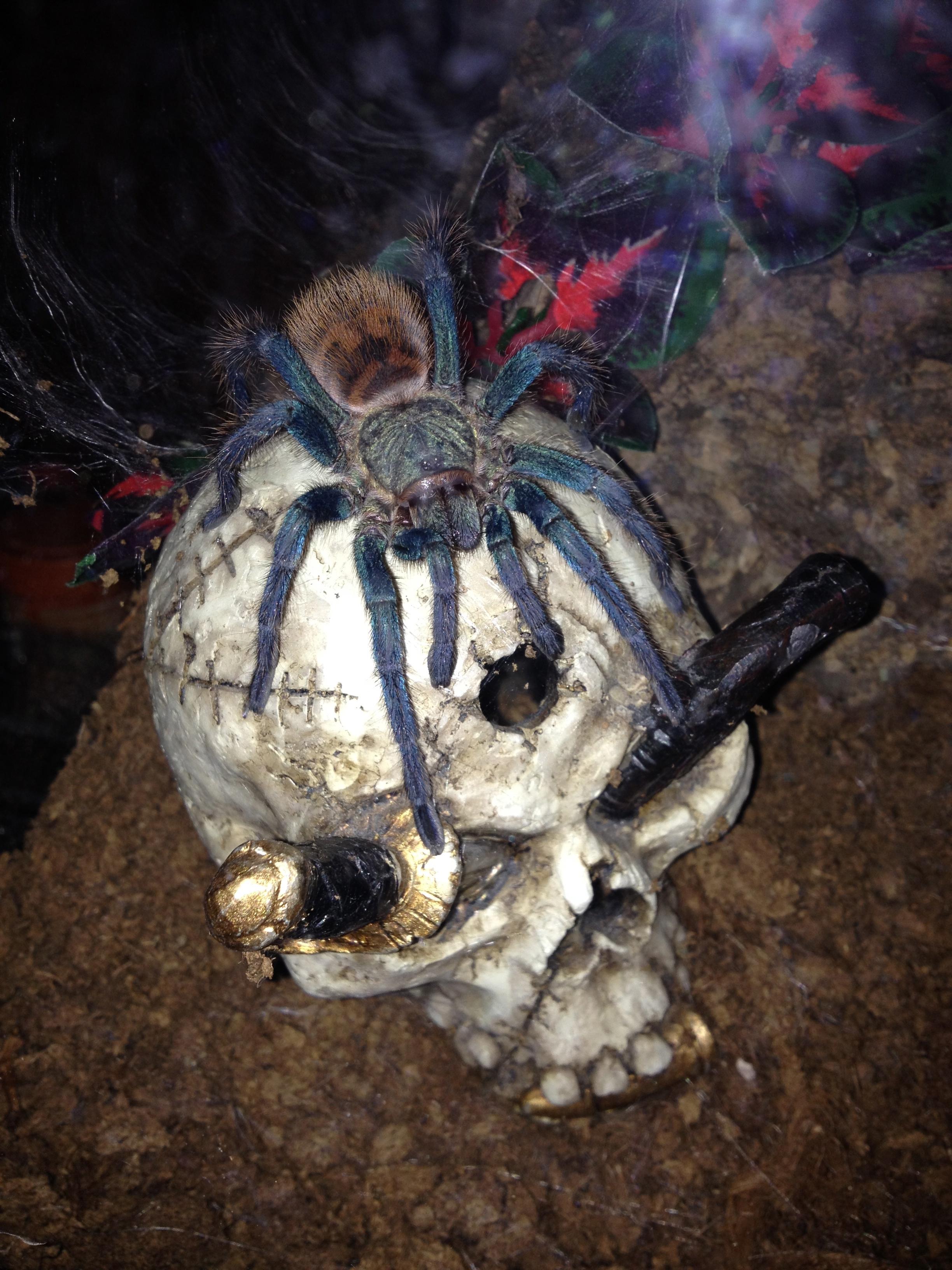 Chromatos skull.jpg
