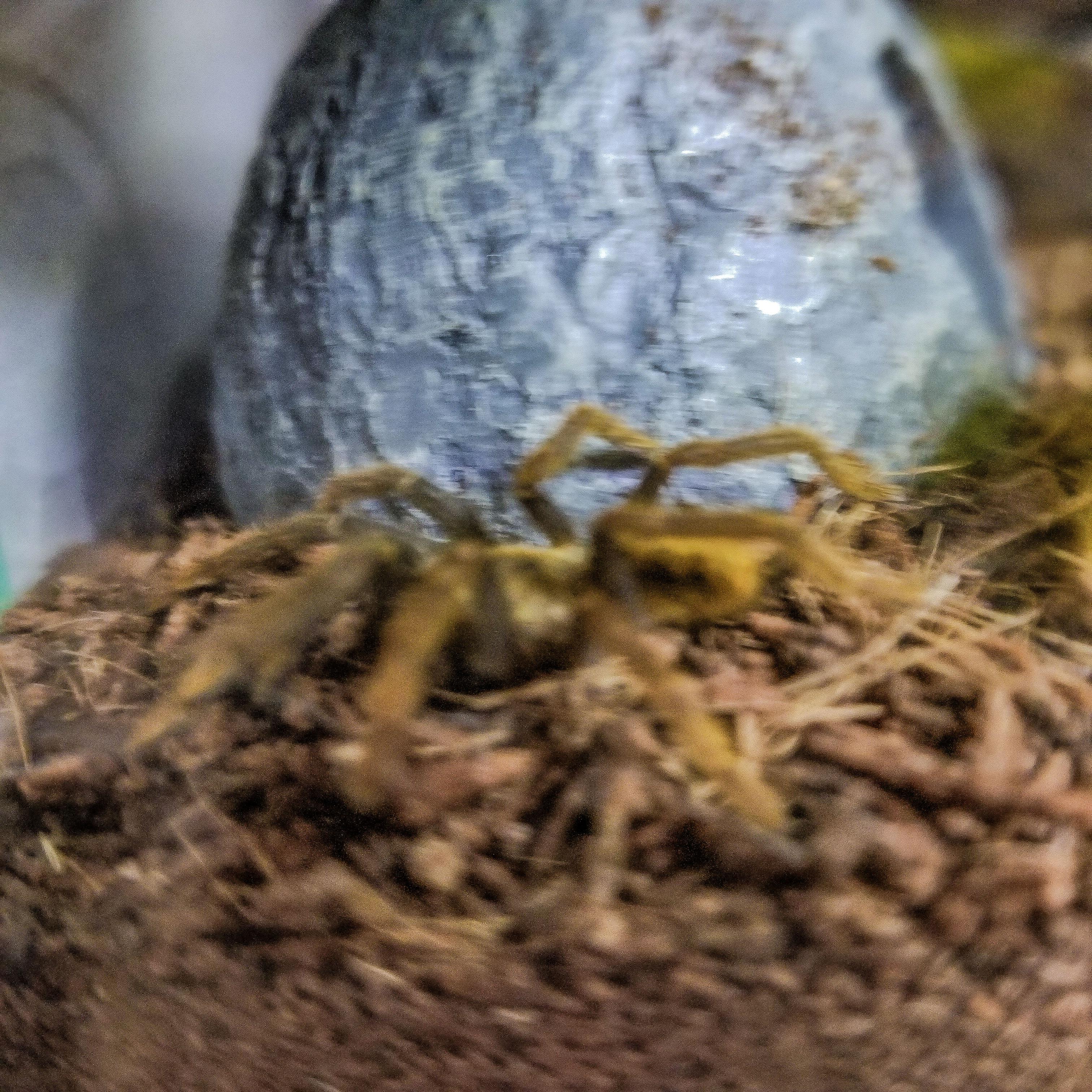 E olivacea Critter edit 2.jpg