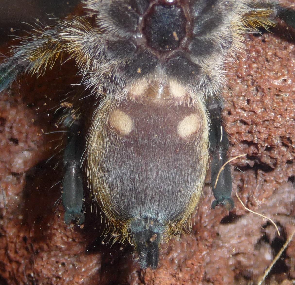 H. pulchripes.JPG