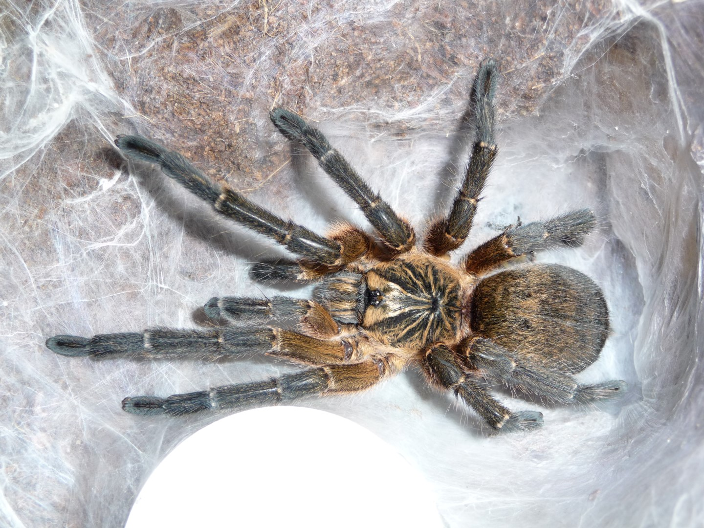 MM H. pulchripes molt date 4-2-17  (2).JPG