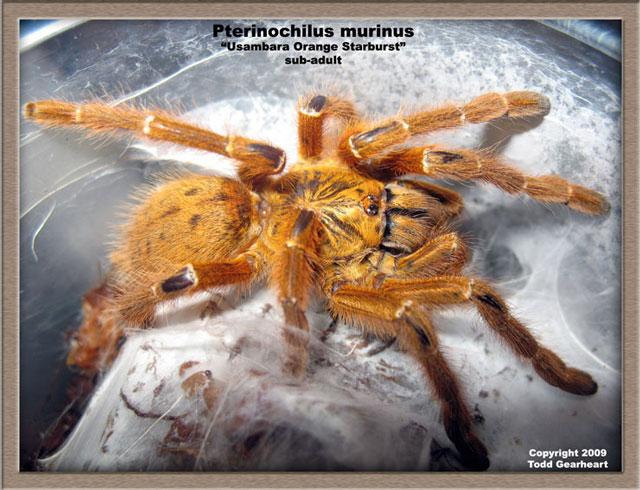P.murinus_U_sa1.jpg
