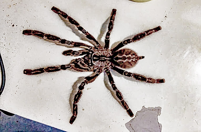 P regalis suspect male 1.jpg
