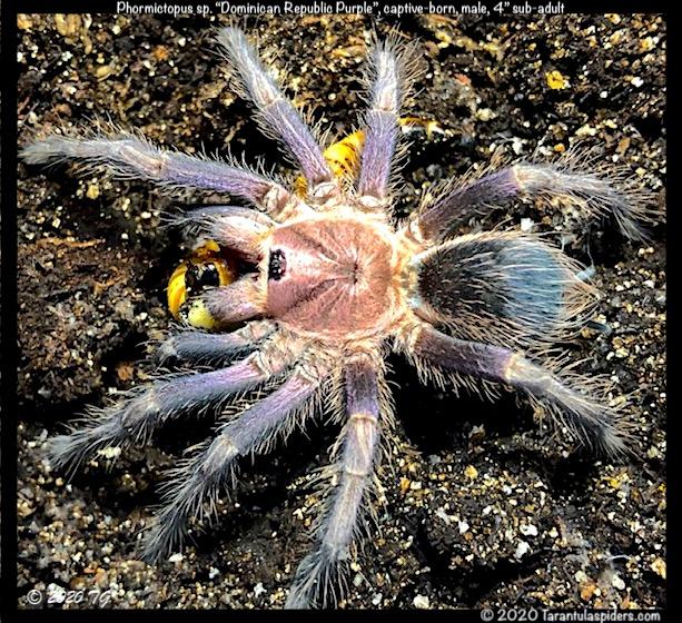Phormictopus_DR_purple(m)4in_SA1.jpeg