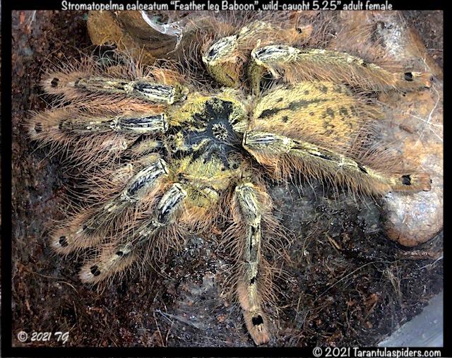 S.calceatum(f)5.25in_AD1.jpeg