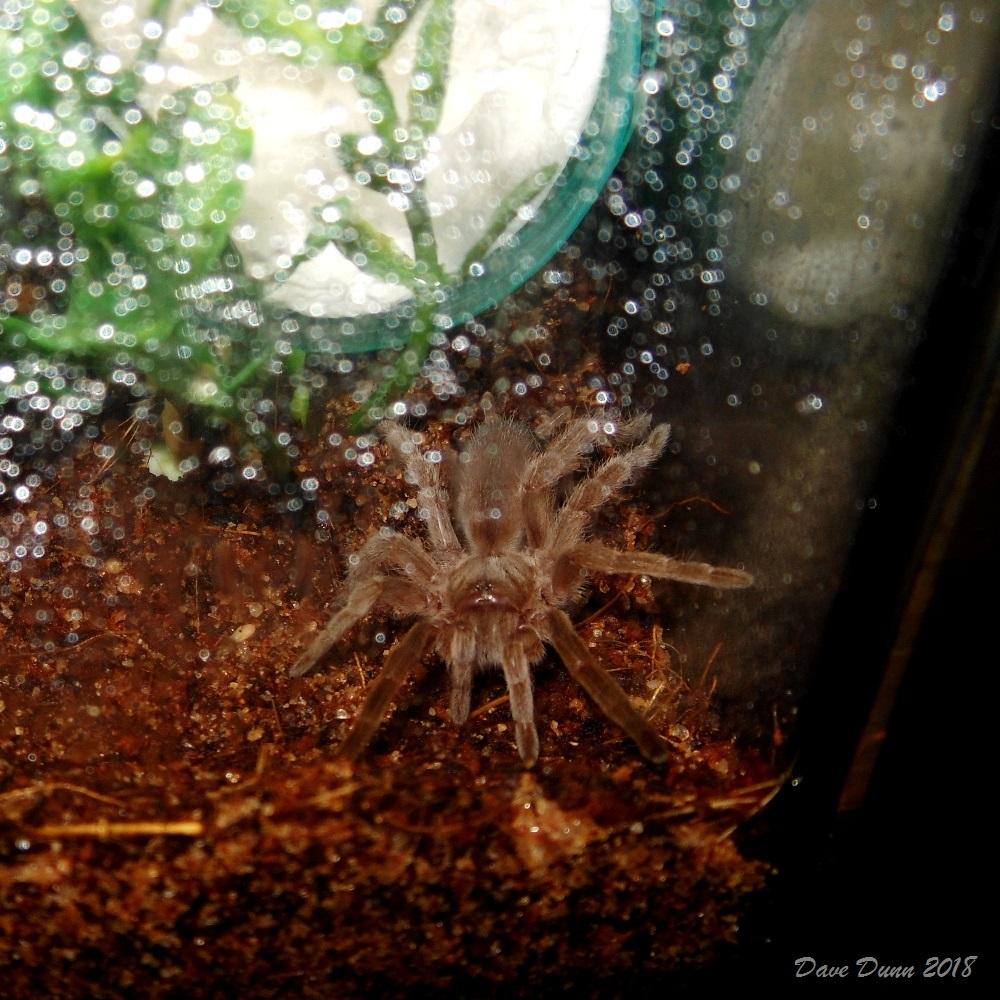 Selenotypus plumipes pic2.JPG