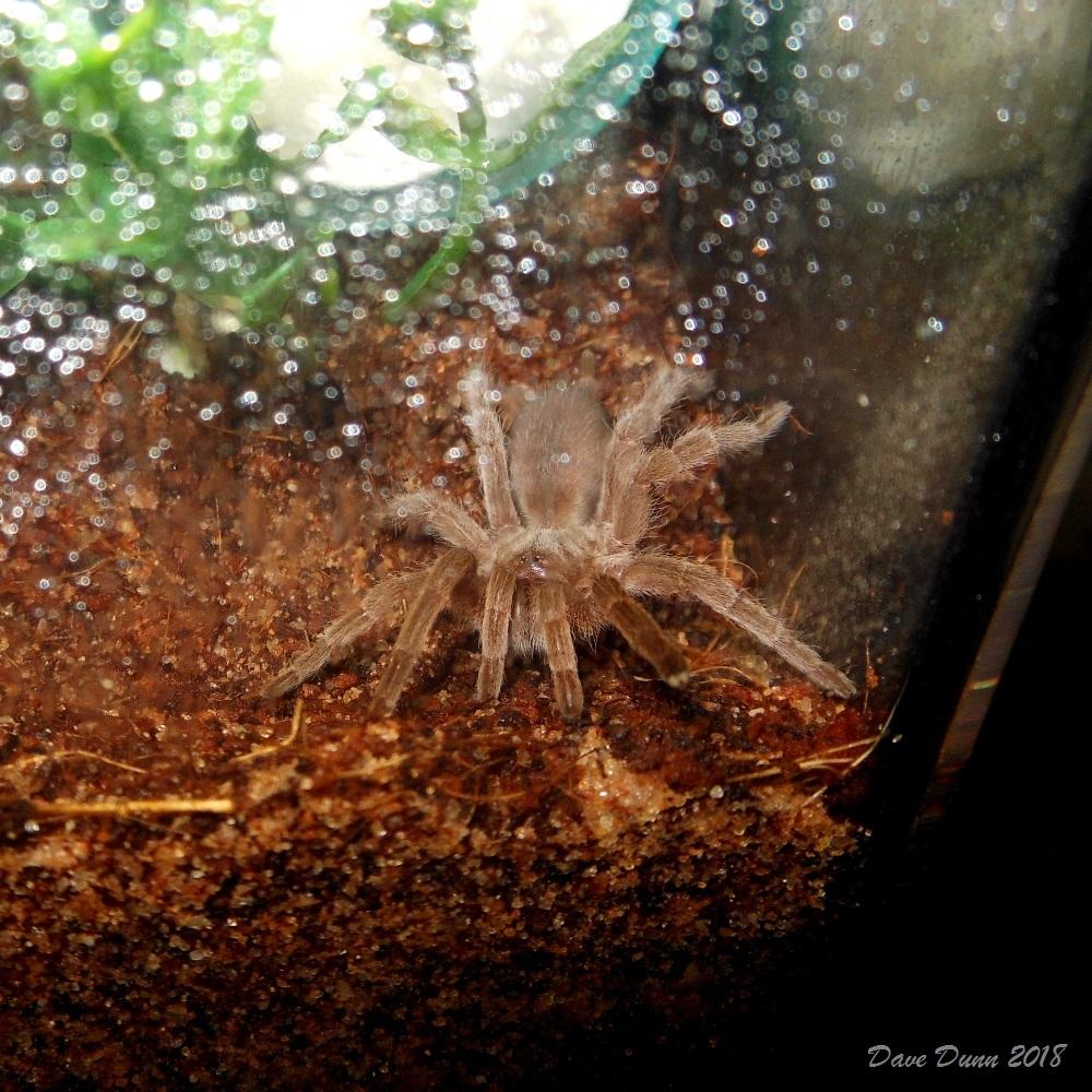 Selenotypus plumipes pic3.JPG