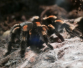 A Trusted Vendor: Why the Source of Your Tarantula's Food Matters
