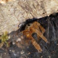 Charlie tarantulas 10