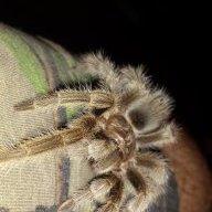 Arachnes' Acolyte