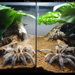 G. Rosea Double Adult Enclosure
