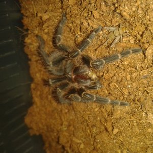 G Pulchripes