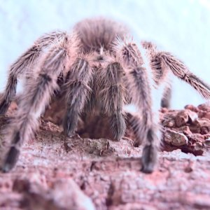 Front view of my G. Rosea