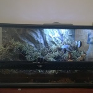 Theraphosa Stirmi Setup