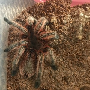 Rosea Red freshly moulted