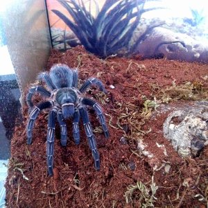 A Seemanni getting more bluish