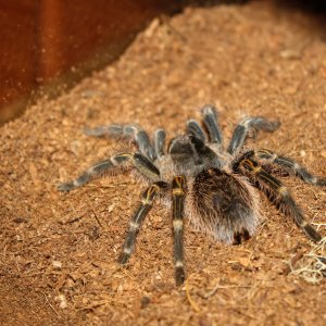 2.5 to 3 inch Juvenile G. Pulchripes