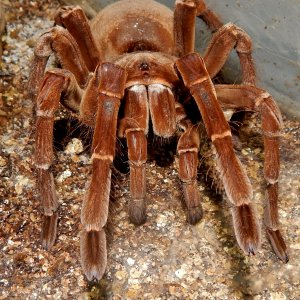 MF Anu - Theraphosa stirmi (Burgandy Goliath Birdeater )
