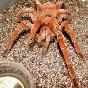 IM  Axel - Theraphosa stirmi (Burgandy Goliath Birdeater )