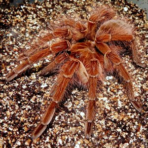 I.M. Athelstan - Theraphosa blondi (Goliath Birdeater)