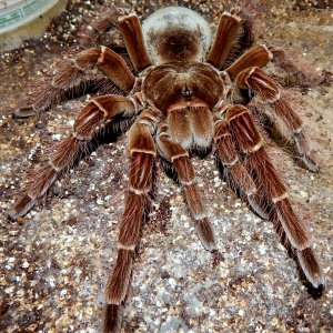 MF Lagertha - Theraphosa blondi (Goliath Birdeater)