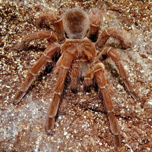 I.M. Floki - Theraphosa blondi (Goliath Birdeater)