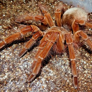 MF Aslaug - Theraphosa blondi (Goliath Birdeater)