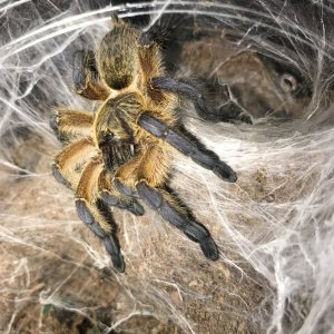H pulchripes