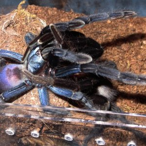 Thrigmopoeus psychedelicus