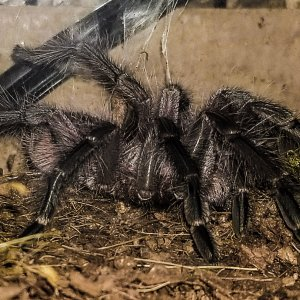 P sp machala a few days after molting