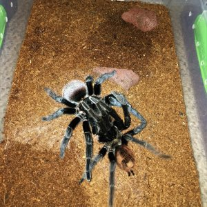 "Brachypelma vagans 6"" DLS Male To 5"" DLS Female On 10-16-18"