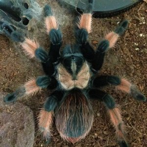Brachypelma emilia female; 4.5 inch DLS; molt date 10-6-18; Photo'd 10-9-18