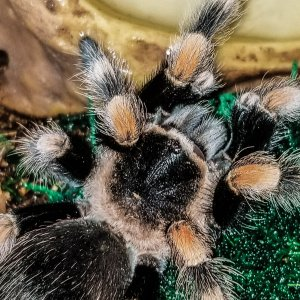 Meet my newest tarantula