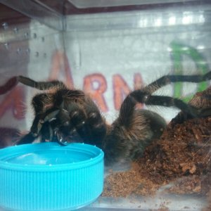 A Rare View of Drinking Tarantula