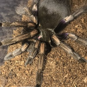 Pamphobeteus Ultramarinus