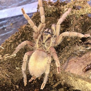"N. incei ""Gold Form"" female"