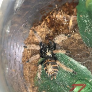 Chromatopelma cyaneopubescens (Greenbottle Blue)