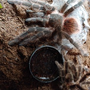 L.klugi freshly molted