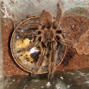 Ephebopus murinus (MM) - Amazon