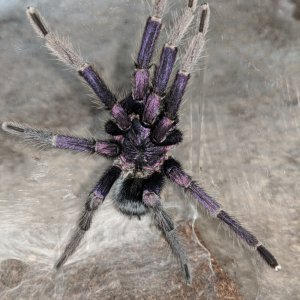 MM Phormictopus sp Dominican Purple