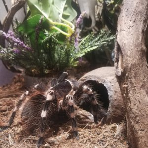 My lovely acanthoscurria geniculata