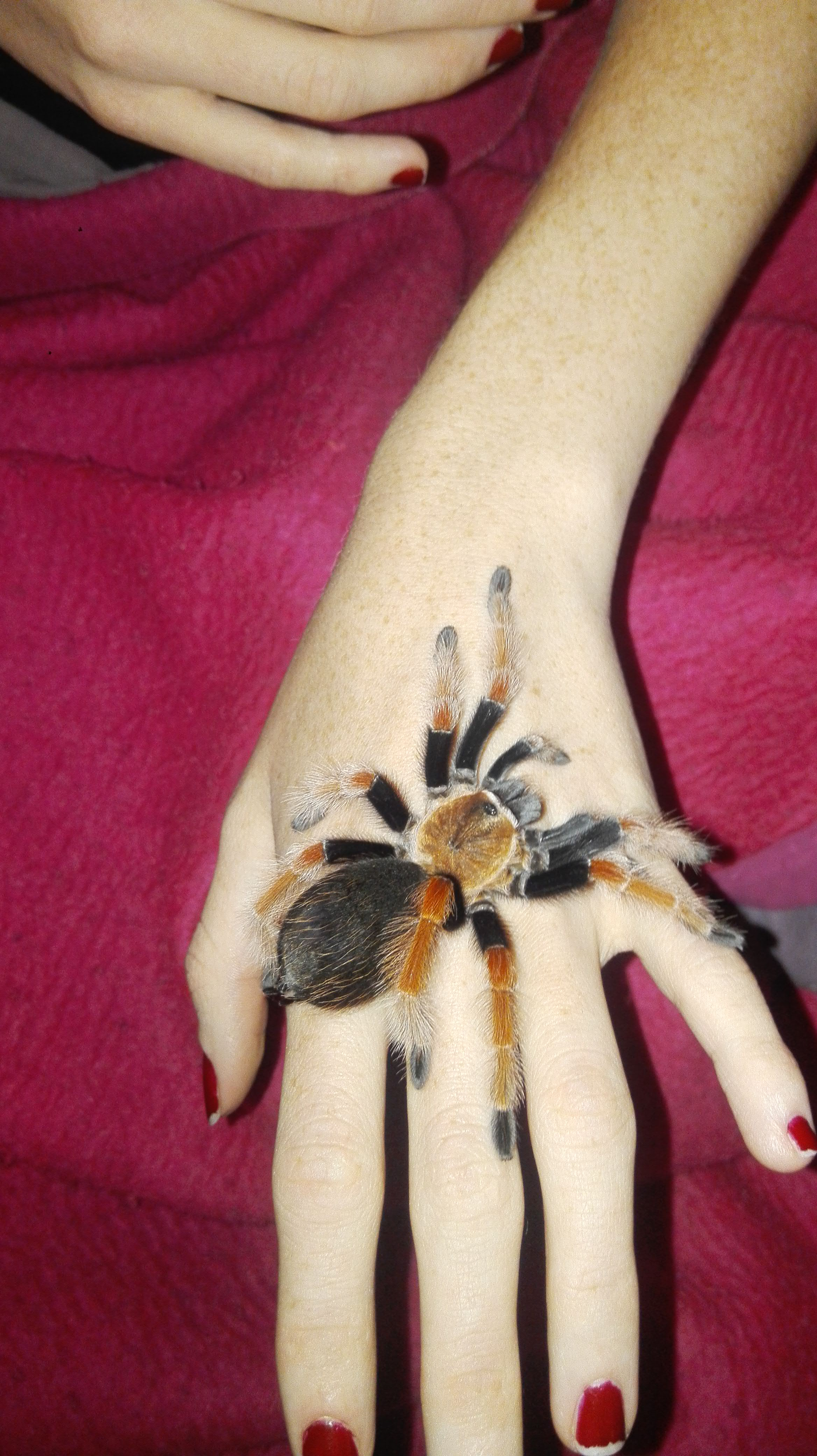 2nd of my new baby's Brachypelma Boehmei