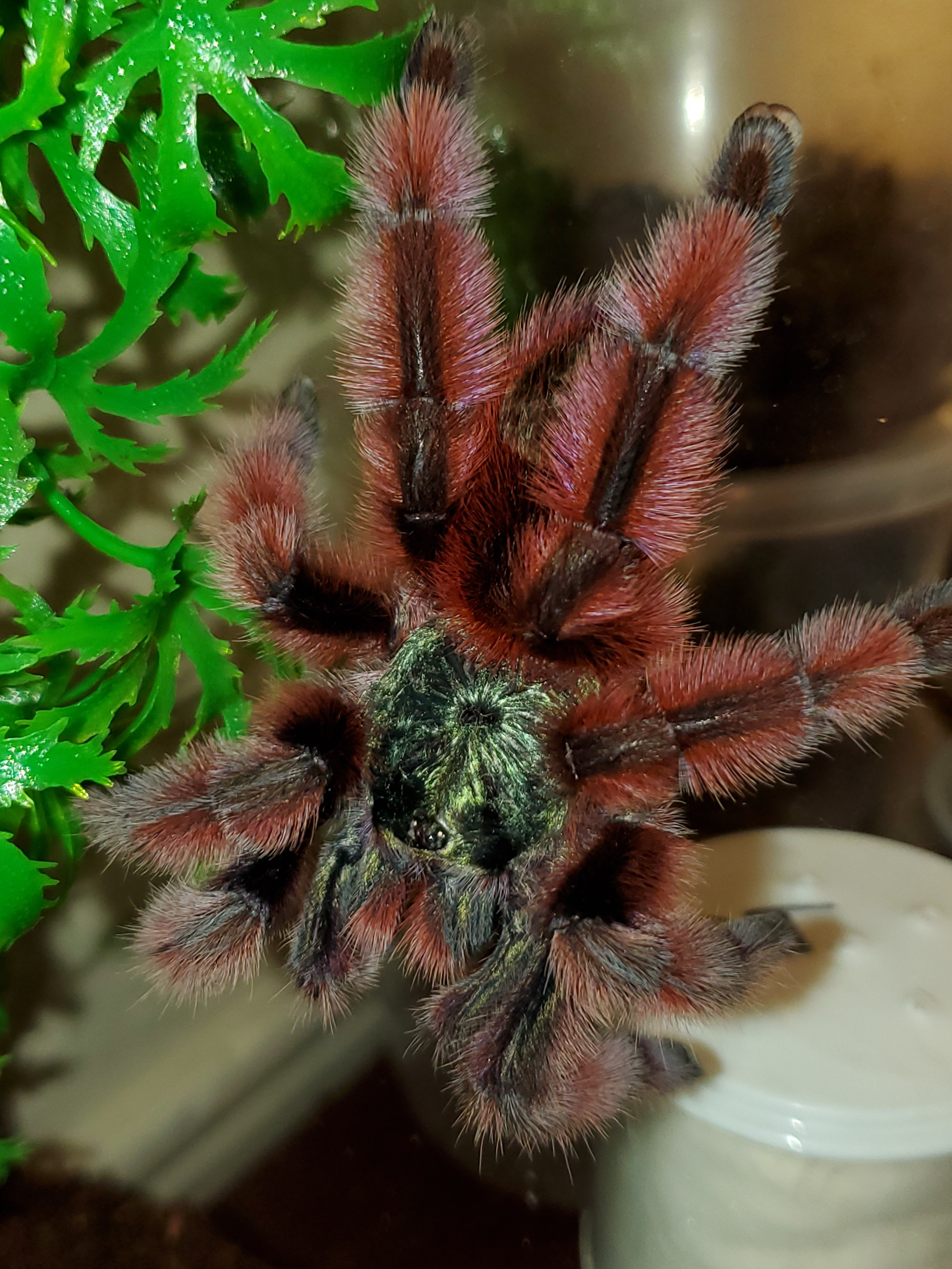 Adult female Caribena versicolor