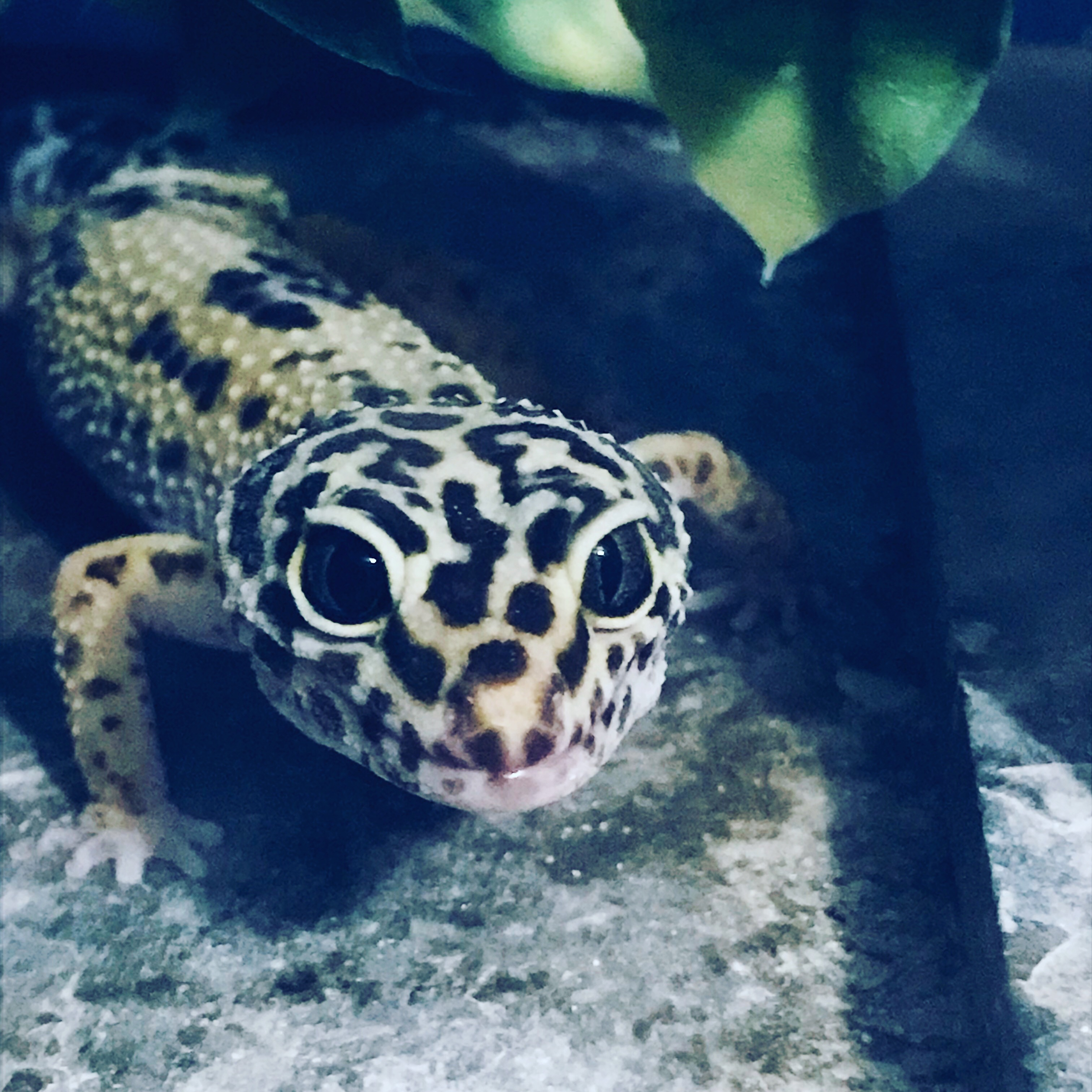 Kaemon the Leopard Gecko