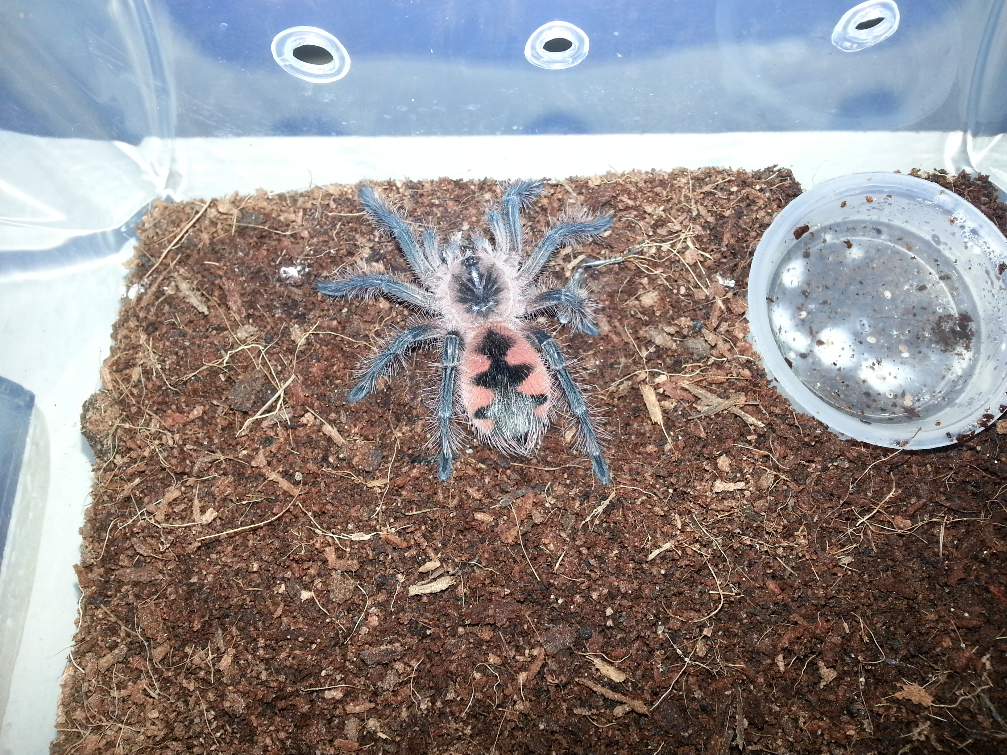 Pamphobeteus .sp Machala Purple bloom