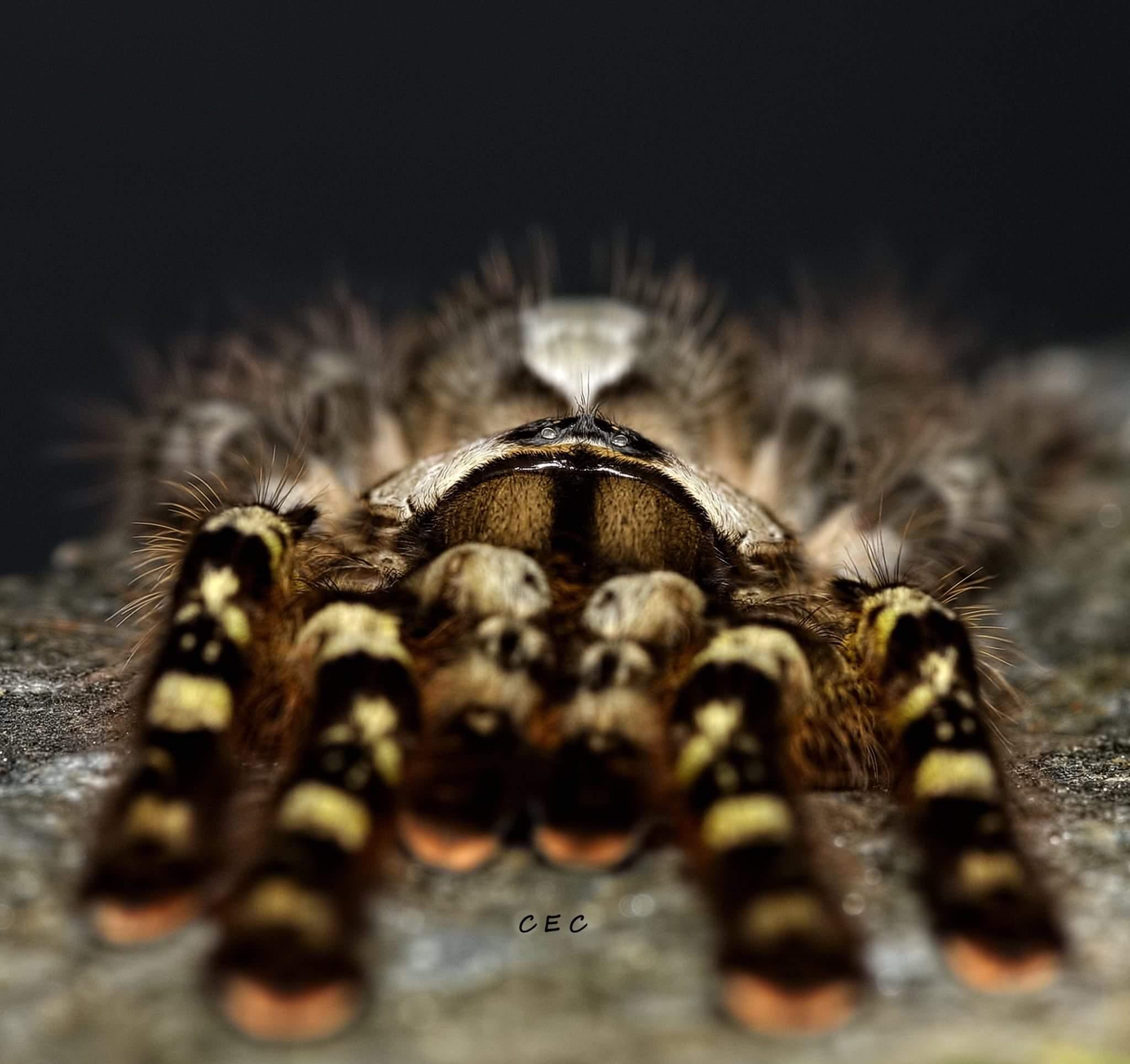 poecilotheria regalis tarantula forum